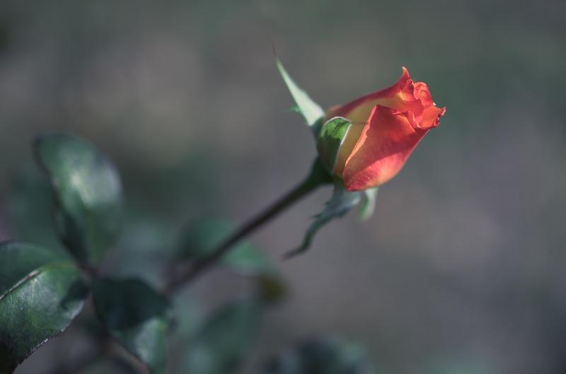 万博記念公園 秋 薔薇