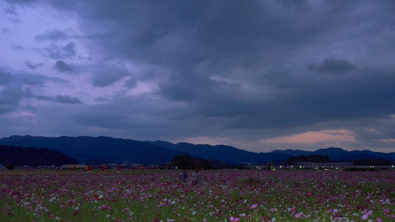 奈良 藤原宮跡 コスモス畑