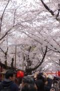 ③満開の桜 P1100125