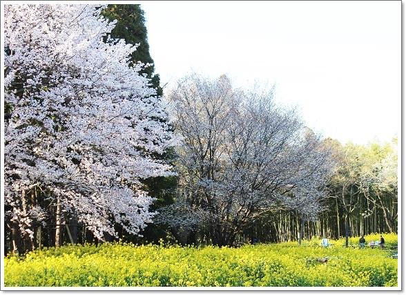 2015年の大俵桜