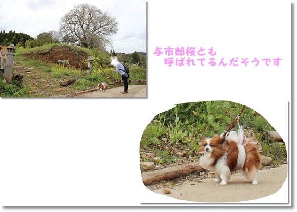 里見の一本桜=与市郎桜