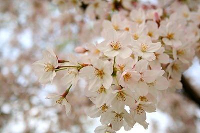 桜2016★1