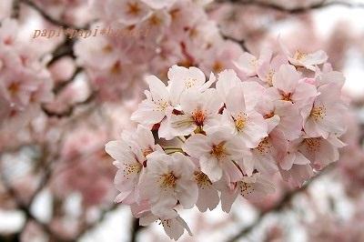 桜2016★5