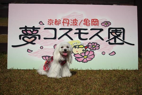 2015.10.29 亀岡夢コスモス園①-12