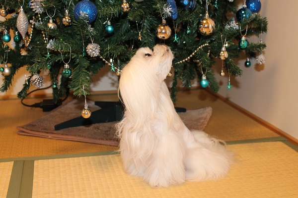 2015.12.01 今年はクリスマスツリー出しましたよ☆-8