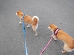 宮城県仙台市/柴犬