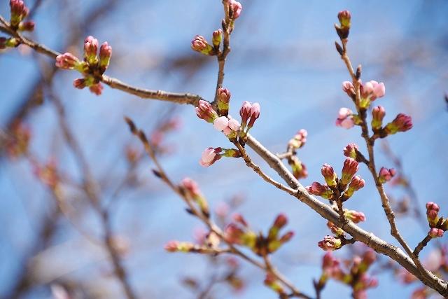 桜めぐりスタート6