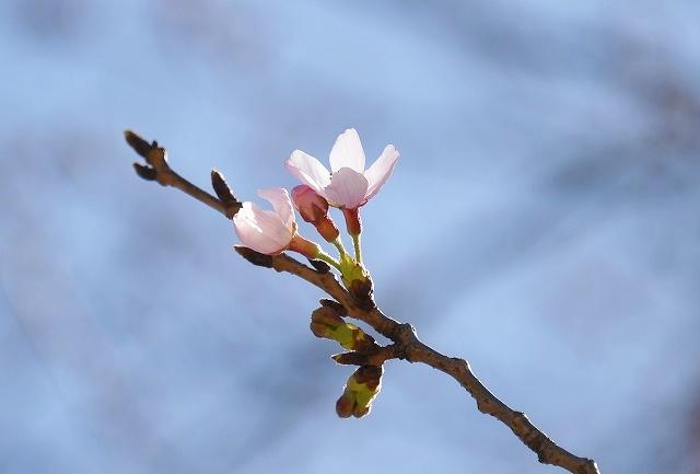 桜めぐりスタート5