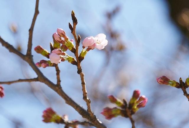 桜めぐりスタート7
