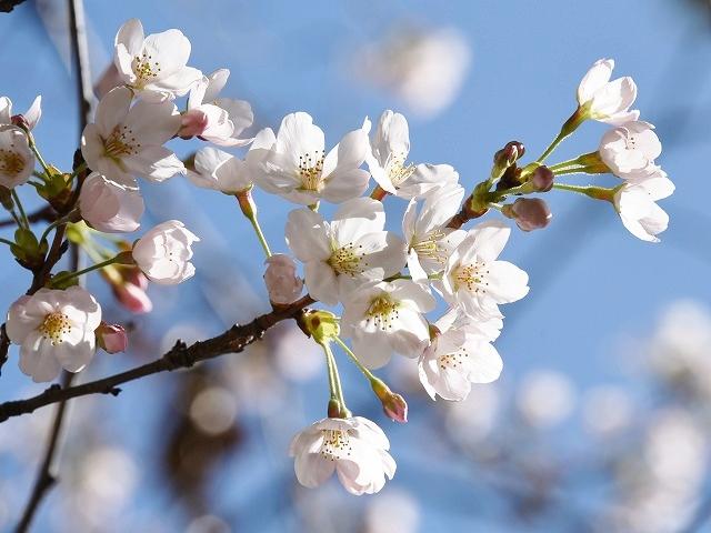 桜めぐりスタート8