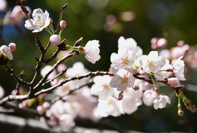 桜めぐりスタート10