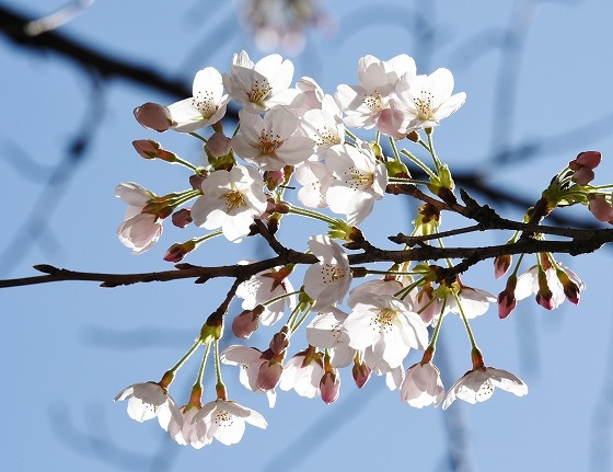 桜めぐりスタート11