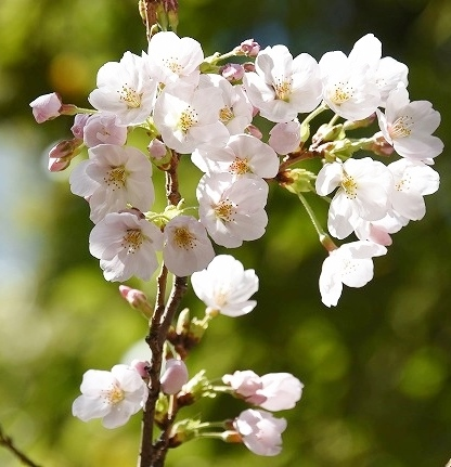 桜めぐりスタート9