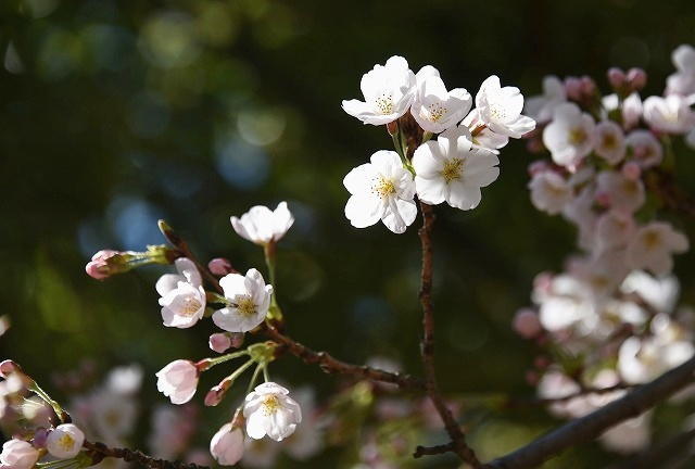 桜めぐりスタート12