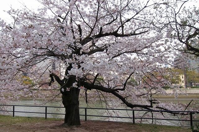 京橋の桜1