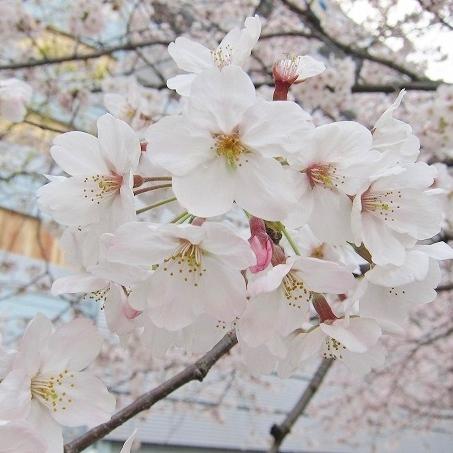 京橋の桜15