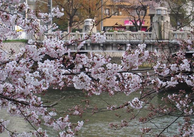 京橋の桜5