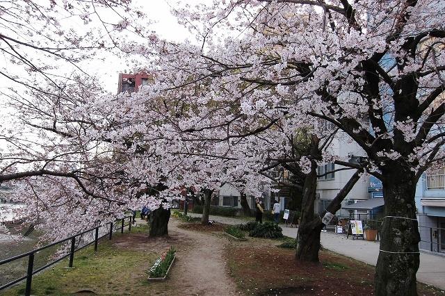京橋の桜3