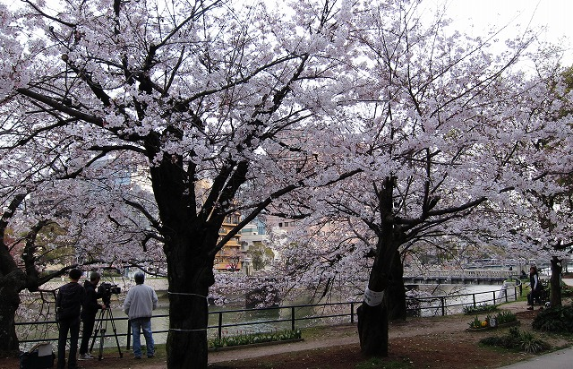 京橋の桜4