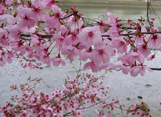 京橋の桜8