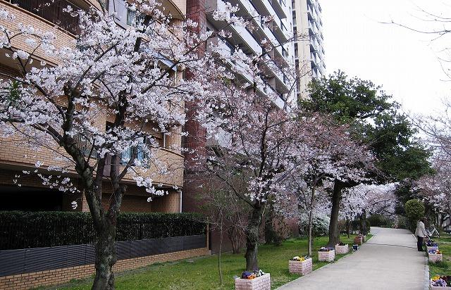京橋の桜9