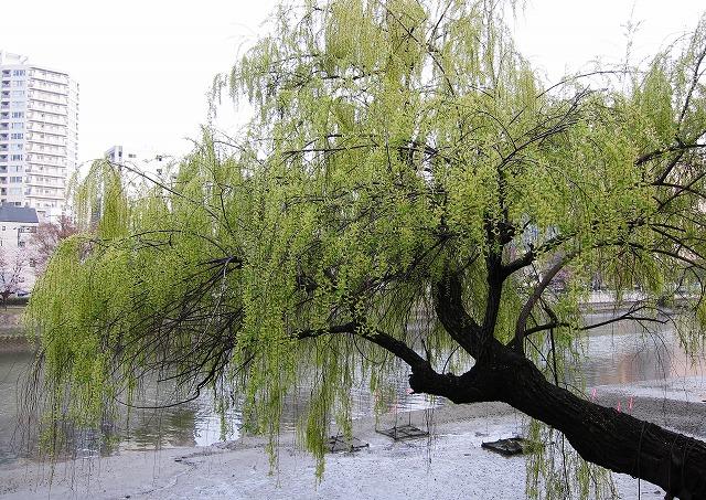 京橋の桜7