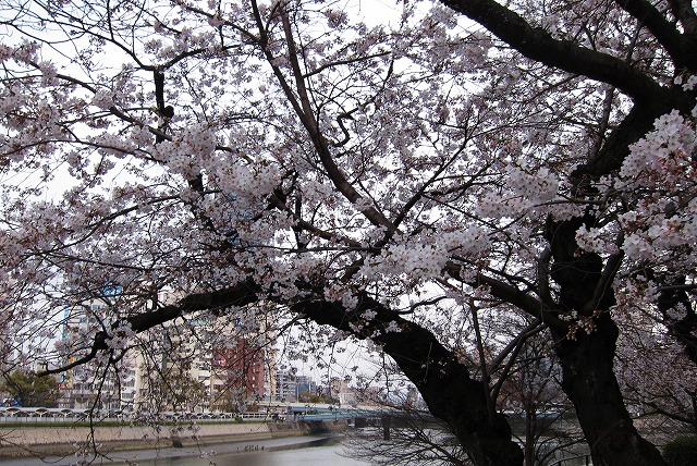 京橋の桜10