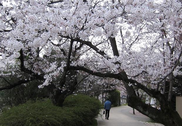 京橋の桜11