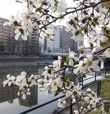 京橋の桜13