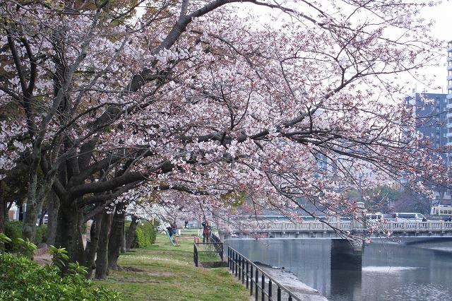 京橋の桜14