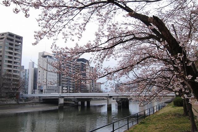 京橋の桜12