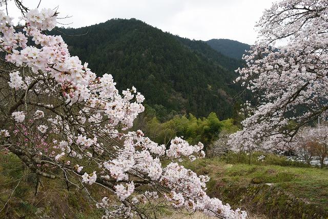 湯の山桜1