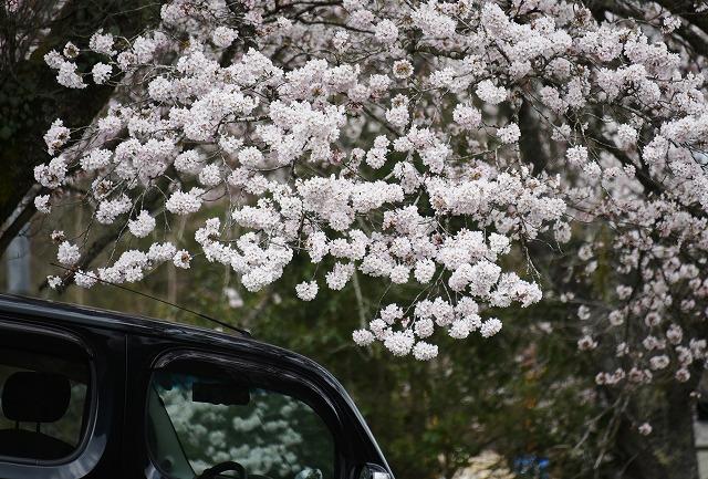 湯の山桜3