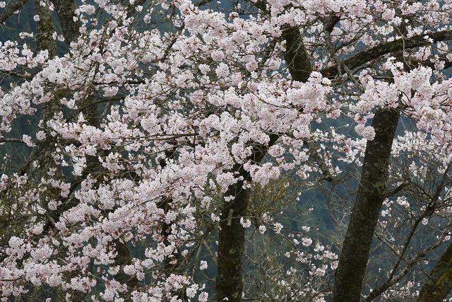 湯の山桜2