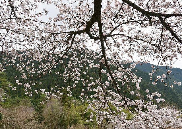 湯の山桜5