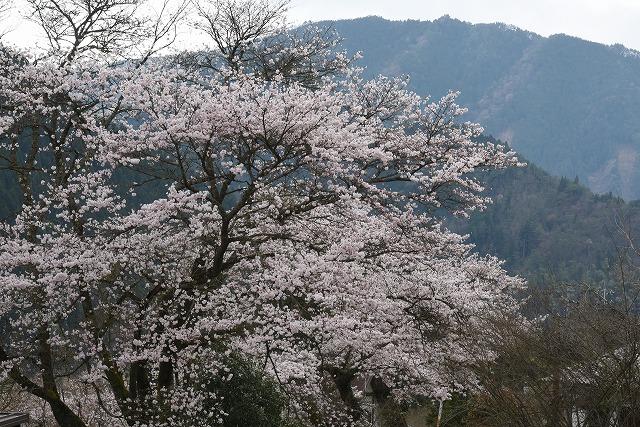 湯の山桜6