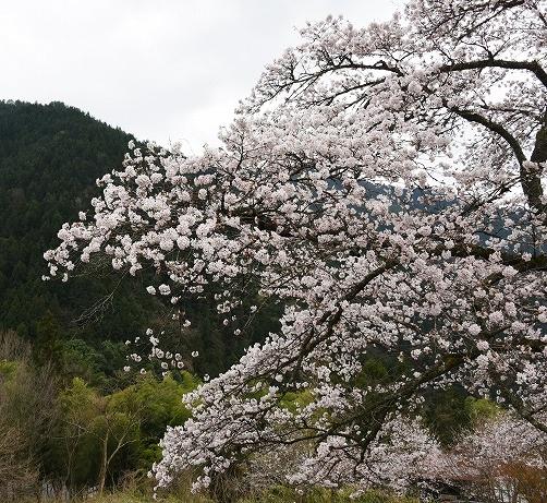 湯の山桜4