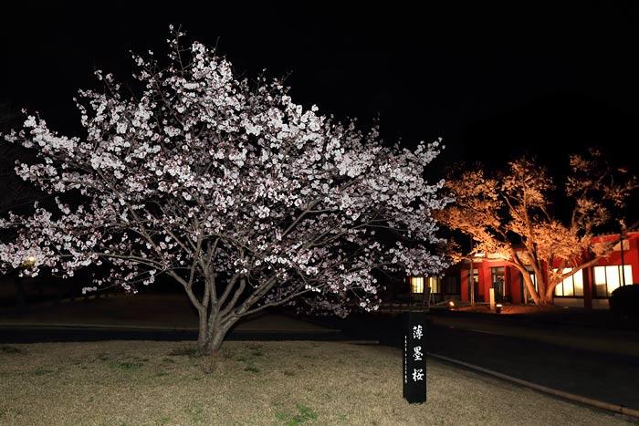 薬師寺 花会式 夜桜