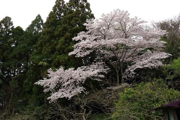押熊八幡神社 桜1