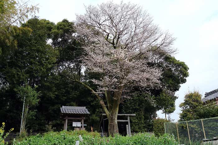 押熊八幡神社 桜2