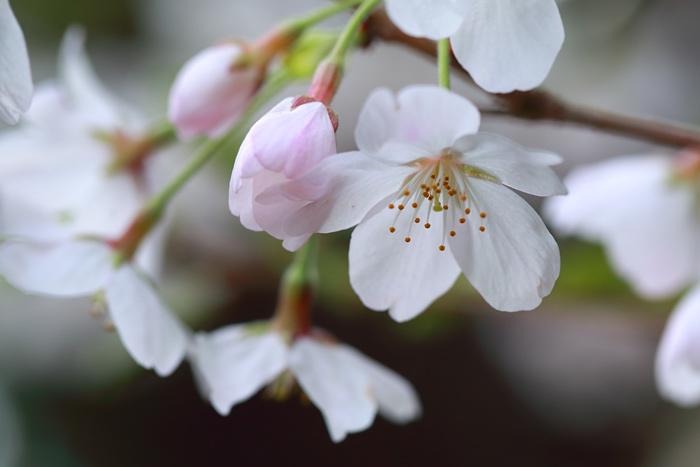 押熊八幡神社 桜3
