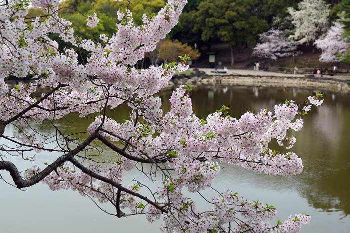 鷺池 桜2