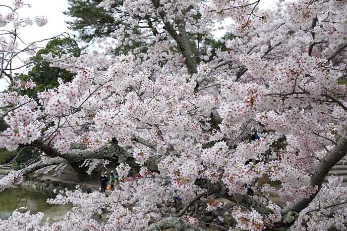 鷺池 桜3