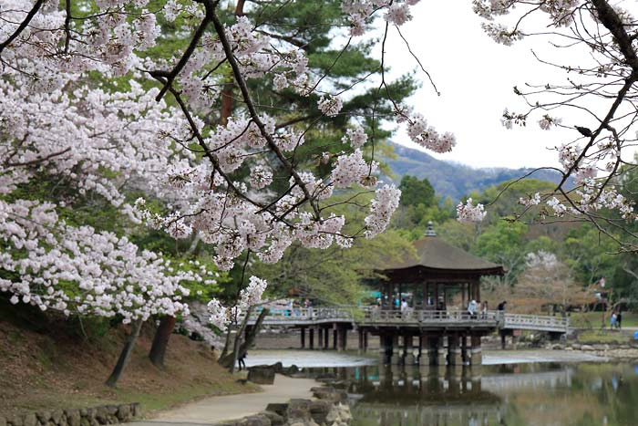 鷺池 桜4