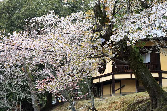 鷺池 桜5