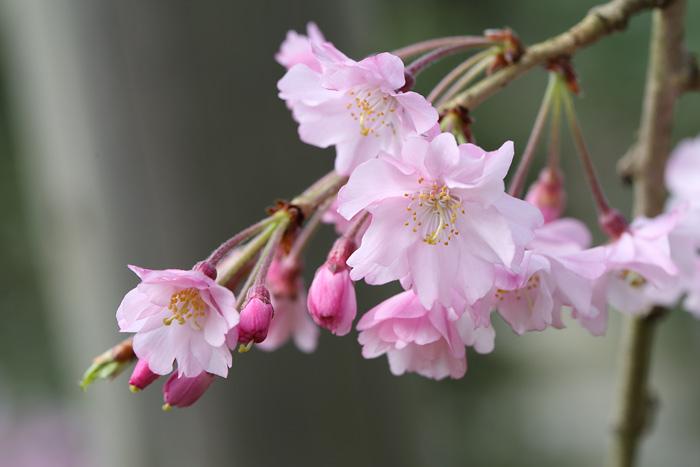 奈良国立博物館 枝垂桜3