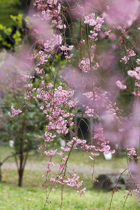 奈良国立博物館 枝垂桜2