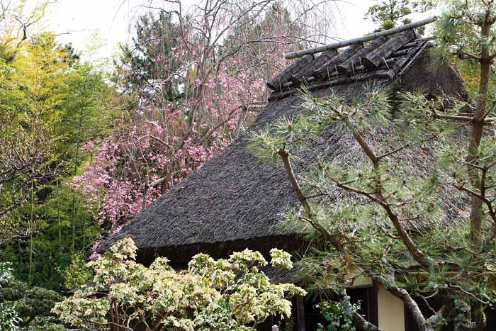 奈良国立博物館 枝垂桜1