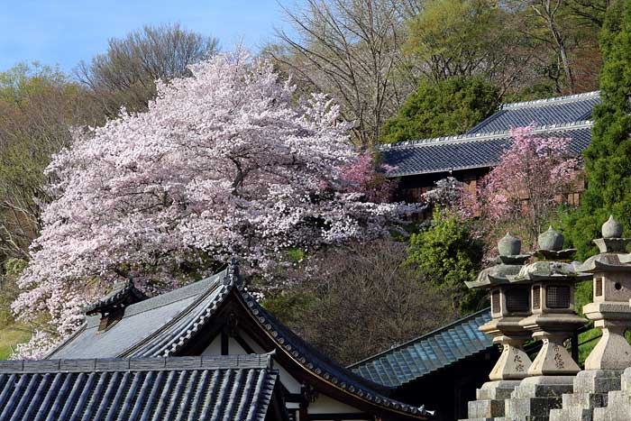 東大寺 桜1