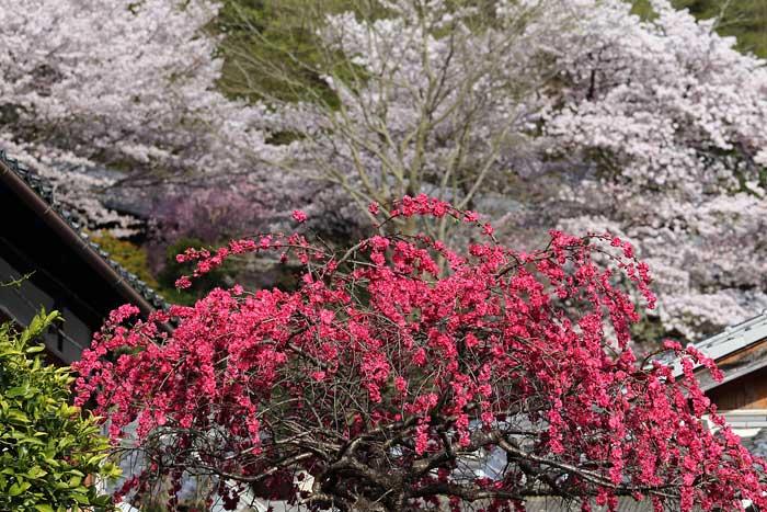 東大寺 桜3